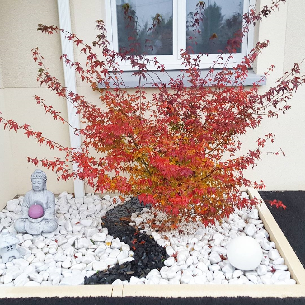 erable du japon en automne